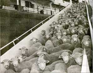 Lambs to the slaughter being off-loaded